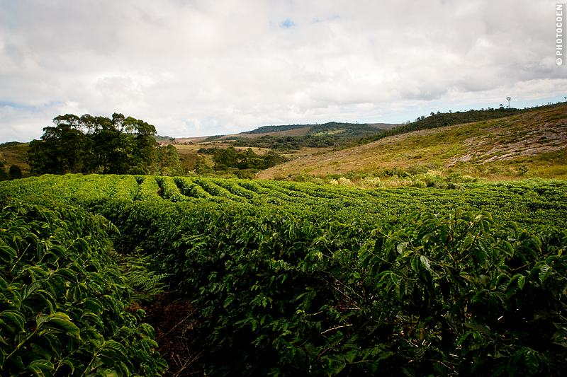 Coffee Plantation Near Chapada da Diamantina in Minas Gerais, Brazil (©photocoen)