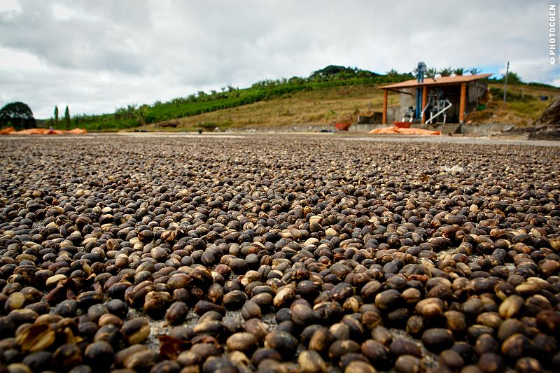 Drying of Coffee Beans near Chapada da Diamantina in Minas Gerais, Brazil (©photocoen)