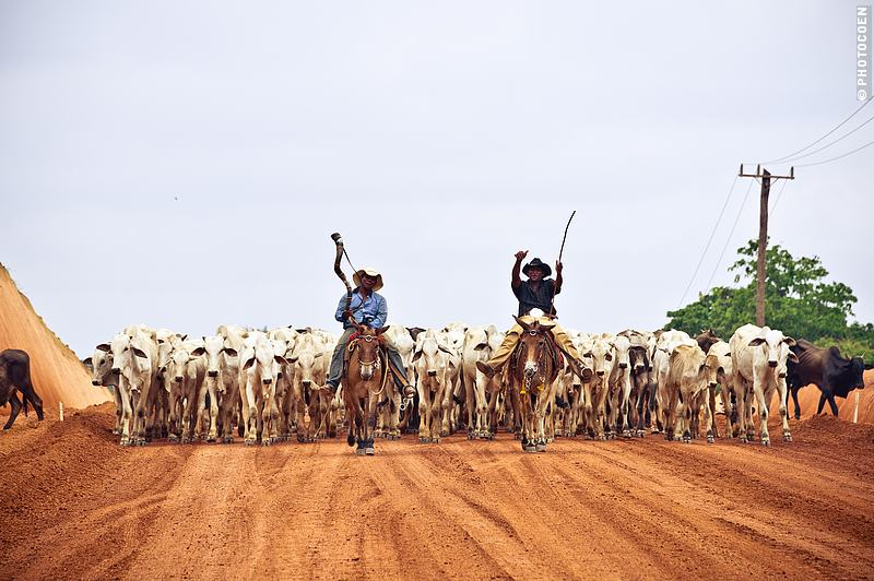 Slow travel, a cattle drive through the Amazon, Brazil