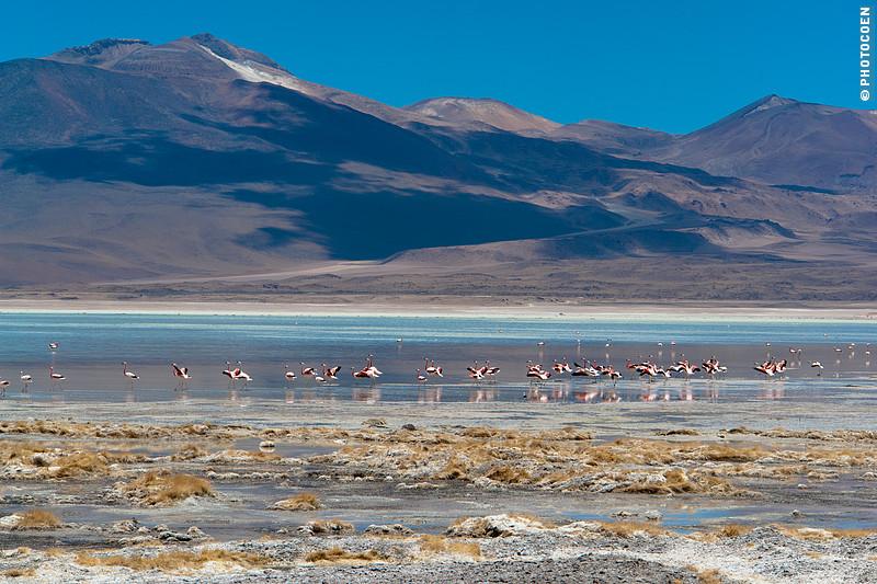 Flamingos in a Laguna Colorada, Southwest Bolivia (©photocoen)
