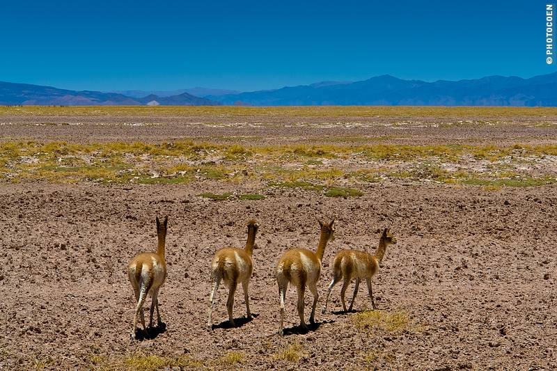 Vicuñas Running Across the Altiplano of Andes Mountains (©photocoen)