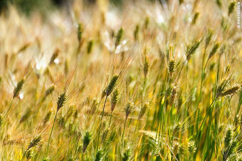Wheat growing on Peninsula Capachica, Peru (©photocoen)