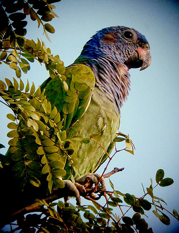 Blue-headed Parrot (©Will Carter)