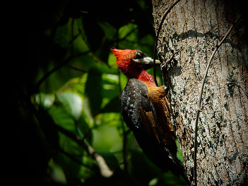 Woodpecker (©Jorge Lopes)