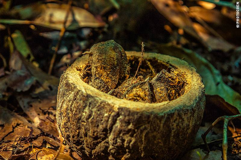 Brazil Nuts (©photocoen)