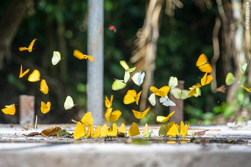 Butterfly Galore in Ecuador (©photocoen)