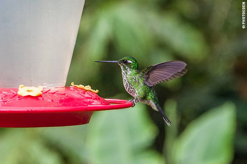 Watching Hummingbirds, here an empress brilliant.