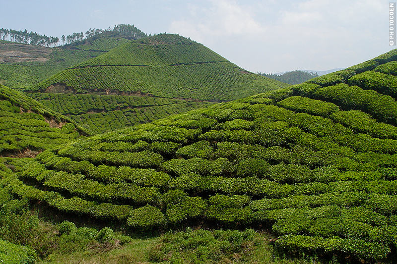 The Munnar Tea Plantations in Kerala - a sea of tea plants.