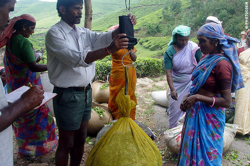 The tea plantation overviewer weighs a bag with harvested tea leaves.