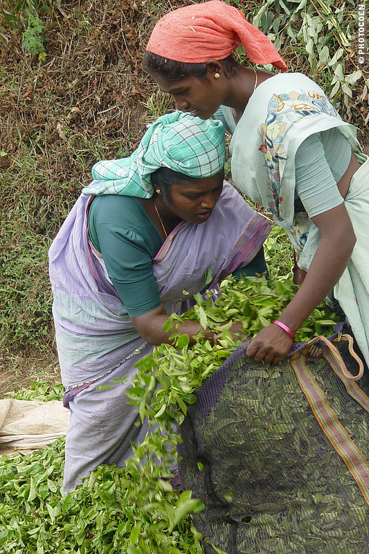 Women harvesting tea leaves at the Munnar Tea Plantation, pushing leaves in a big bag.