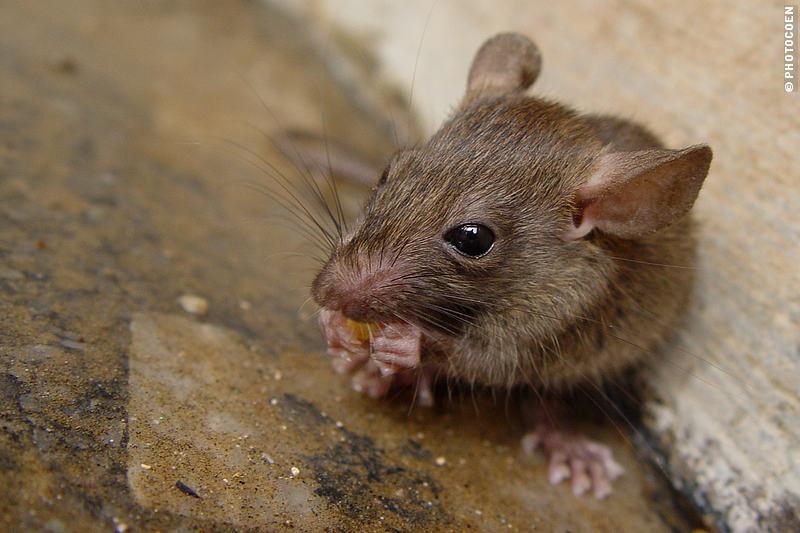 A rat nibbling on food in the Karni Mati Temple of Deshnok, India.