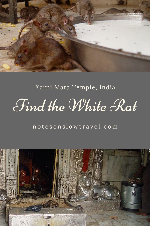 The Karni Mata Temple, India (©Coen Wubbels)