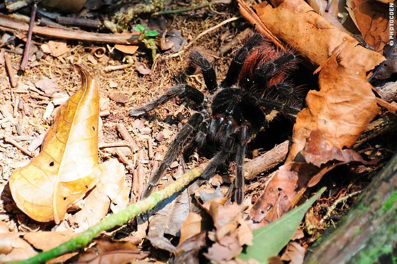 A tarantula in Cidade de Pedras of the Aravilhanas National Park, Brazil