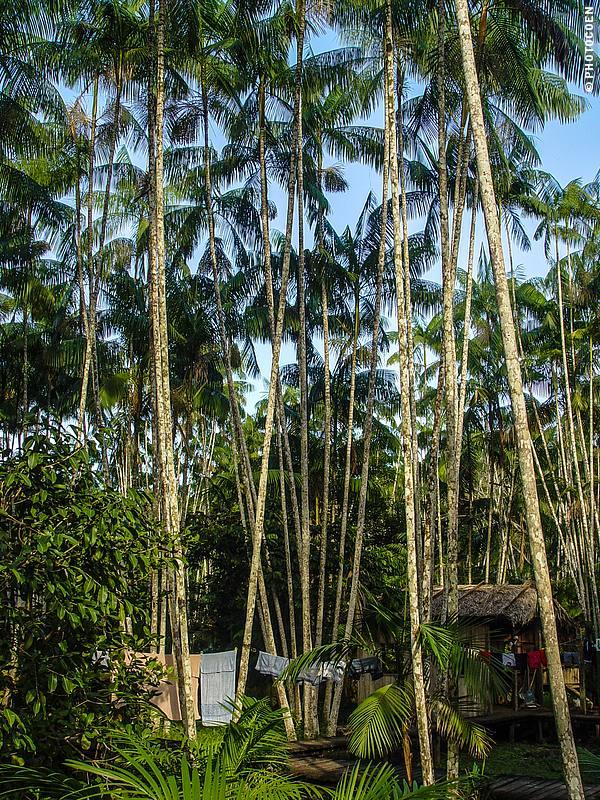 Açaí palm, Santana, Brazil