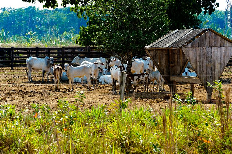 Cattle Ranch on the BR319, Brazil