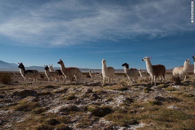 Altiplano and llamas in Chile.